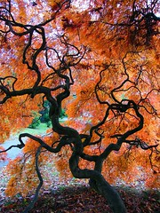 Autumn Silhouette (Stanley Zimny) Tags: park autumn trees red tree fall nature colors leaves silhouette automne catchycolors japanese leaf maple colorful colours seasons natural fallcolors herbst autumncolors fourseasons autunno autumnal colorexplosion 4seasons sgis ahorn jesien jesiennie 100commentgroup
