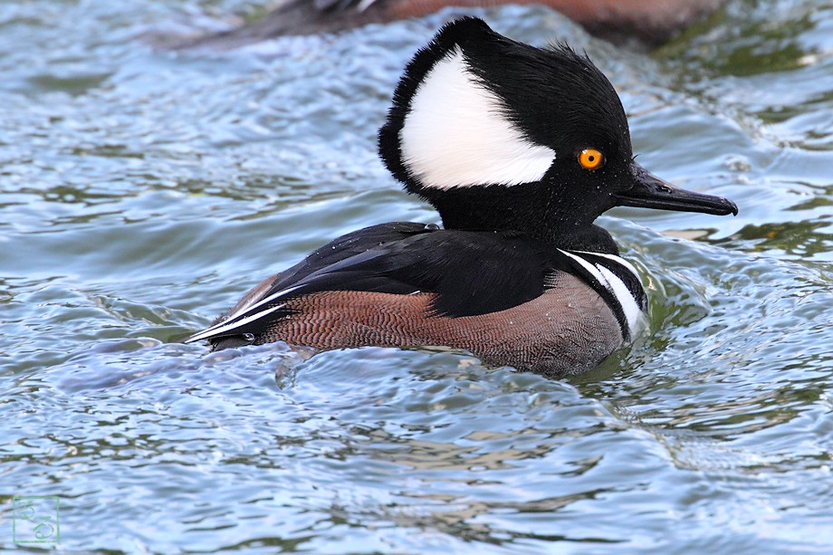 Hooded Merganser 112110-2