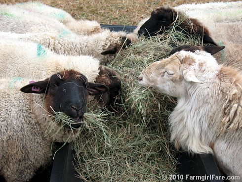 Hay Eating 3
