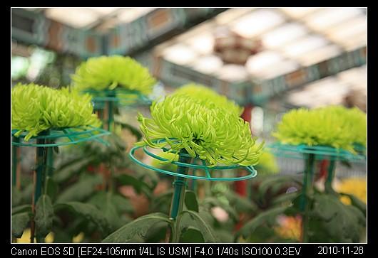 20101128F49綠絲菊