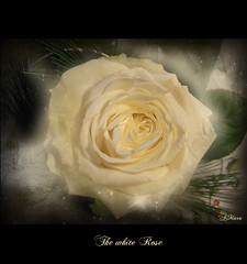 The white Rose (Mara ~earth light~) Tags: white texture rose photoshop poetry transformation heart symbol expression contemporaryart touch pad divine creativecommons source  gnosis magicalmoments ourtime newbeginning callingallangels fantasticnature memoriesbook artistictreasurechest redmatrix mara~earthlight~ abokehoflight untouchabledream lovelymotherearth healinglightofthespirit itsallaboutflowers