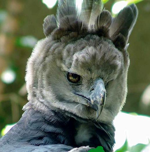 Harpia harpija (Águila arpía)