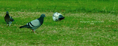 pigeon (deshaa30) Tags: green bird nature grass rock pigeon sony quack hamed mostafa   h50 greenness deshaa wwwmostafahamedcom