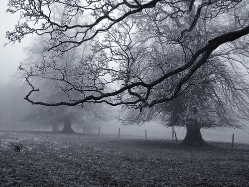 Misty lime trees