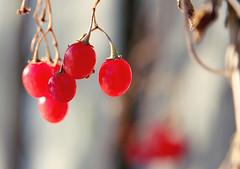 winter berries (Shandi-lee) Tags: blue winter red brown macro nature grey december berries redberries winterberries