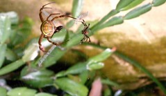 spider dance (dominotic) Tags: nature garden spider arachnid australia nsw 8legs argiopekeyserlingi standrewscrossspider