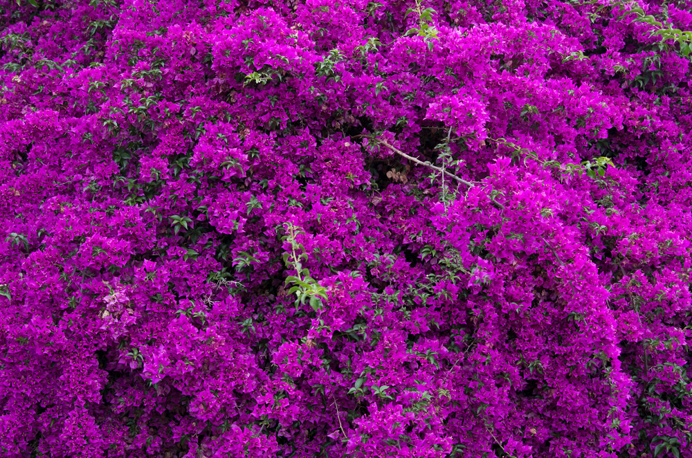 The Colour Purple - Bougainvillea