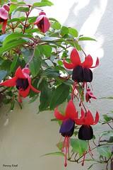 Fuchsia 'Black Prince' (pennyeast) Tags: flower botanical fuchsia capetown papaalphaecho