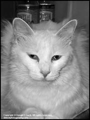 House Cat Zookie - Stock Image (photo_maan) Tags: family pet sidekick animal animals cat friend feline friendship emotion unitedstatesofamerica buddy kansas zook companion relationships comrade wichita zuzu stockphotography zookie stockphotograph ddeckphotography