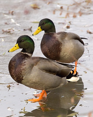 hello duckie (shimmer2) Tags: gay ice duck buddies mallard entenbraten