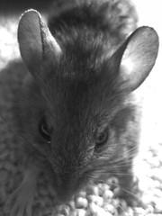 Todays Visitor (AincaArt) Tags: cat mouse switzerland katze maus berneroberland berneseoberland mungga todaysvisitor tirili canonixus80is aincaart