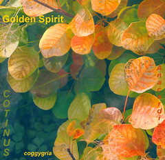 Golden Spirit (virtually_supine) Tags: colour leaves graphic text creative manipulation textures layers legacy blending tistheseason cotinus mumsgarden itg autumncolour artdigital goldenspirit photoshopelements7 theawardtree daarklands magicunicornverybest selectbestexcellence sbfmasterpiece selectbestfrontpagephoto trolledprou