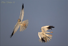 - -   -  () Tags: bird bin sultan fighting hen qatar harrier     wachers