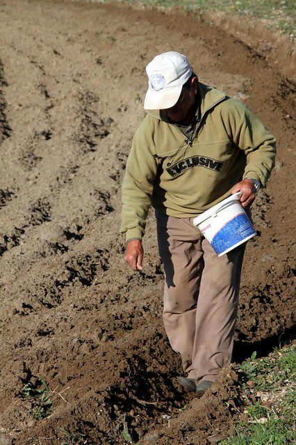 Seeding Fava