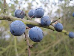 Sloe Berries (James Smile Click!) Tags: christmas uk snow berry berries gin 2010 sloe