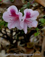 Christmas Azaleas (Texas Exposur) Tags: december sony azalea nacogdoches easttexas a700 getrdun alazan pineywoodsoftexas