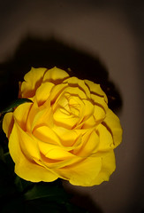 Yellow Rose (KJGarbutt) Tags: life flowers roses plants flower colour macro green rose yellow photography leaf stem pretty sony cybershot bunch kurtis sonycybershot garbutt kjgarbutt kurtisgarbutt kurtisjgarbutt kjgarbuttphotography