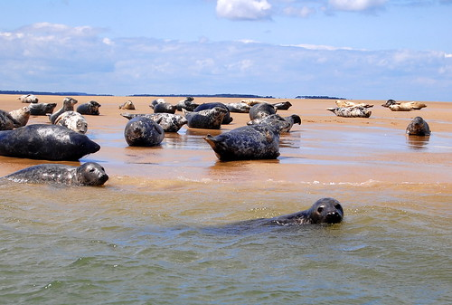 British seals at Blakeney Point