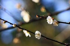 勝興車站也有梅花唷^^ (samyaoo) Tags: bokeh plum taiwan 台灣 勝興車站 苗栗 三義 plumblossoms 梅花 sanyi 百微 散景 miouli ef100mmmacrof28