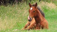 Baby Horse (blue polaris) Tags: travel newzealand summer horse baby animal landscape scenery farm nz northisland eastland foal
