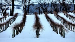 Vineyard in the Snow