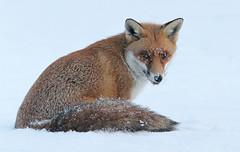 Red Fox Cub (Dan Belton ( No Badger Cull )) Tags: uk winter red wild snow ice nature animal mammal cub december native leicestershire wildlife freezing fox kits cubs kit loughborough vulpesvulpes chuffineckourkid