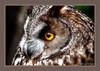 Bengal Eagle Owl (Bubo bengalensis) (JattievdL) Tags: bengaleagleowl bubobengalensis offshootphotographysociety newgrangefalconry qualitygold