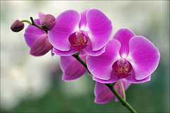 Phalaenopsis Orchid in Bloom (Foto Martien (thanks for over 2.000.000 views)) Tags: orchid flower holland colour macro netherlands dutch colorfull nederland phalaenopsis orchidaceae tropical bloom noordoostpolder orchidee coloured flevoland kleurrijk bloem macrophoto kleuren bont tropisch veelkleurig macrofoto kleurig macroopname luttelgeest queenofflowers orchideenhoeve orchdee a550 platinumheartaward kniginderblumen martienuiterweerd martienarnhem sonyalpha550 mygearandme mygearandmepremium minoltamacro100mm28mm mygearandmebronze mygearandmesilver mygearandmegold mygearandmeplatinum mygearandmediamond fotomartien koninginderbloemen
