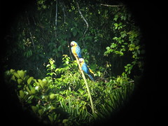 Yellow & Blue Macaws through Telescope