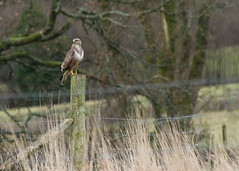 Day of the Buzzard ....(+6 in comments) ... 4/365 (Gareth Scanlon) Tags: uk winter cloud mountain black bird nature weather animal fog wales project dark fly bill high nikon 2000 wildlife flight wing bad iso 1600 talon raptor tc prey 365 af buzzard nikkor brecon beacons common 3200 gareth scanlon teleconverter buteobuteo buteo kenko 14x project365 of brynamman d300s af80200f28 garethscanlon