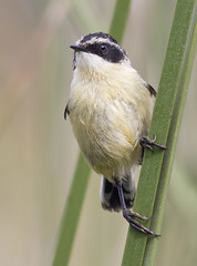 Siete colores (Tachuris rubrigastra) (Egon Wolf) Tags: chile bird ave