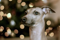 Emkas niece Flapka (Dada Mar) Tags: portrait dog bokeh italiangreyhound