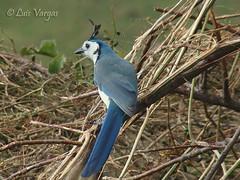 Calocitta formosa (luvaduju09) Tags: birds costarica calocittaformosa qualitygold