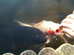 こちらは鯉