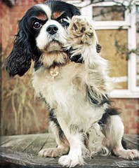 Old Dog, New Tricks! (2/52) (meg price) Tags: dog pet paw wave spaniel cavalier trick cavalierkingcharlesspaniel dilly ckcs borealnz 52weeksfordogs lesbrumes ldlportraits thanksforthefreetexturesfrom