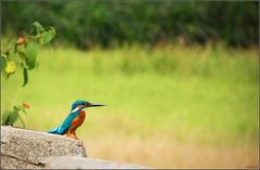 ..Kingfisher..Again :) (Ravisankar RP) Tags: bird nature birds lumix kerala panasonic kingfisher kollam ravisankar polachira fz35