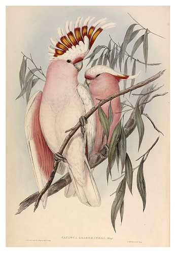 026- Cacatua Leadbeateri-The Birds of Australia  1848-John Gould- National Library of Australia Digital Collections