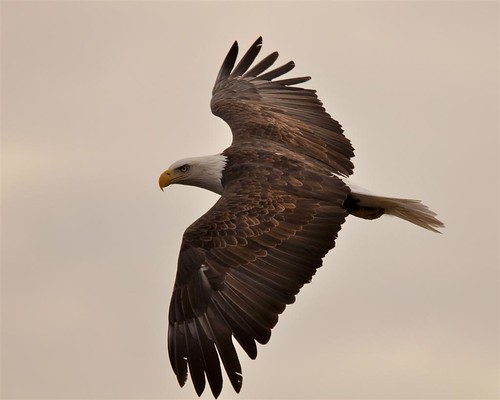 Bald Eagle - In-Flight Closeup