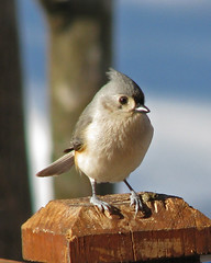 yard bird line up:  Mr. Titmouse