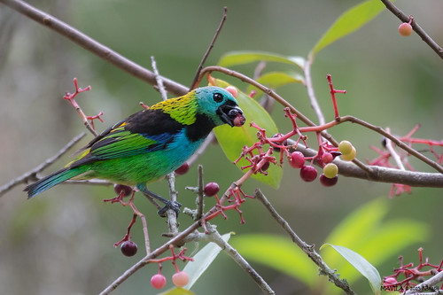 Saíra-sete-cores (Tangara seledon) - Green-headed Tanager