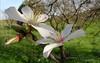 almond blossoms (susodediego ) Tags: macro nature grancanaria almendro canaryisland mandelblüten valsequillo almondblossoms borderfx fleursdamandier leicadlux4 fioridimandorla amandelbloesems άνθηαμυγδαλιάσ httpballoonaprivatthumbloggercom