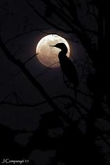 CORMORA DE LLUNA PLENA (Pep Companyó - Barraló) Tags: sant solsones lleida lluna plena pons josep embasament companyo cormora barralo