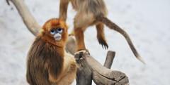 황금 원숭이 (에버랜드 (withEverland)) Tags: 겨울 동물원 애버랜드 테마파크 추위 황금원숭이