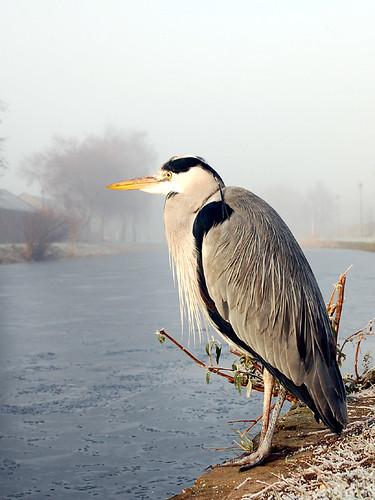 Canal Heron III