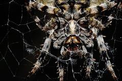 la tela del ragno. (LucaBertolotti) Tags: macro macrophotography bug bugs spider ragno ragnatela cobweb reverselens