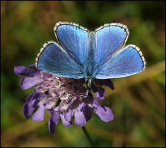 Male Adonis Blue on Field Scabious - Open Wings (glostopcat) Tags: adonisbluebutterfly butterfly insect invertebrate glos wildflower fieldscabious nationaltrust minchinhamptoncommon