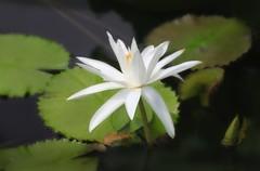 _MG_2464 (chazheng) Tags: waterlily lotus flower beautiful floral fantasy attraction closeup flickr beauty bokeh macro fullframe love colorful nature