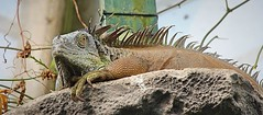 Iguana (Bogger3.) Tags: iguana lizard scales bigclaws 5to6footlong stratforduponavon canon600d canon18x135lens specanimal coth5