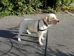 Gracie in the driveway (walneylad) Tags: gracie dog canine pet puppy lab labrador labradorretriever cute september fall autumn