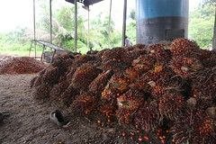 Oil palm industri in Cameroon (CIFOR) Tags: oilpalm oil palm industry smallholder farmer oilmill mills community cameroon forest